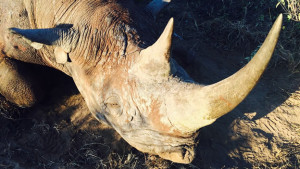 rinoceronte_negro_cnn