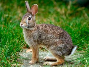 caza_conejo