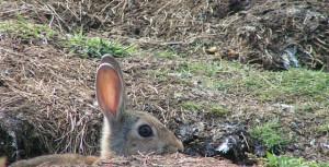 descaste_conejo_caza